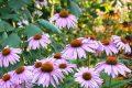 ECHINACEA ANGUSTIFOLIA - Un rimedio naturale (A natural remedy)