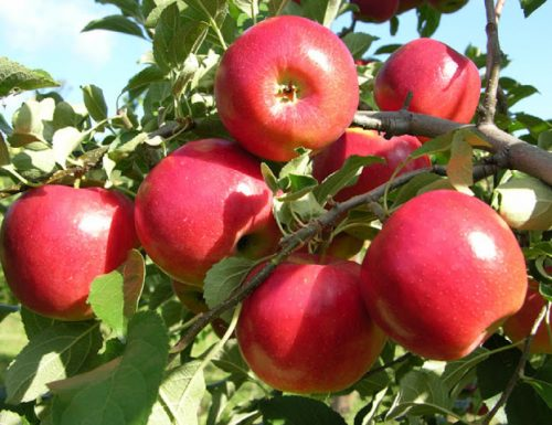 CURARSI CON IL MELO – (Curing with the Apple tree)