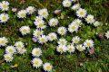 CURARSI CON LA MARGHERITINA o PRATOLINA - Bellis perennis (Curing with Lawn Daisy)