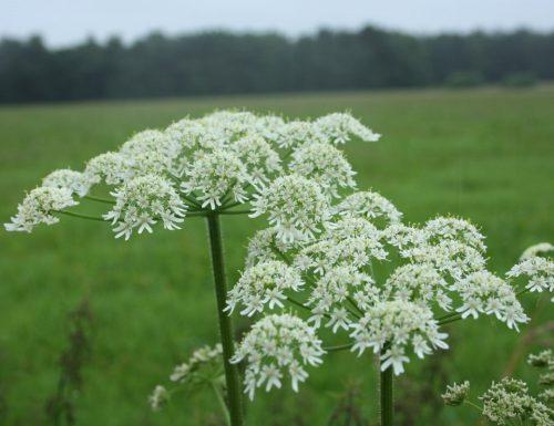 LO SPONDILIO, contro l'impotenza e la frigidità (Heracleum sphondylium)