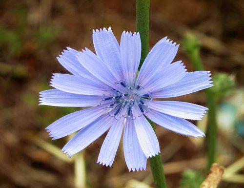CURARSI CON LA CICORIA (Cichorium intybus)