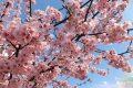 CURARSI CON IL MANDORLO (Almond tree)